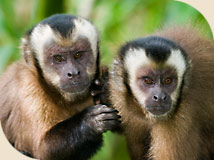 Brown Capuchin monkeys from South America